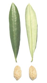 Schede cultivar di ulivo piante di olivo giampiero del for Equilibrio sinonimi