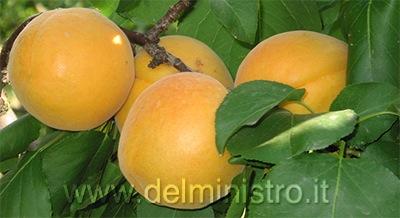 Vendita piante di albicocco piante da frutto giampiero for Piante da frutto pistoia