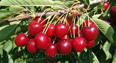 Vendita piante di ciliegio piante da frutto giampiero for Albero ciliegio