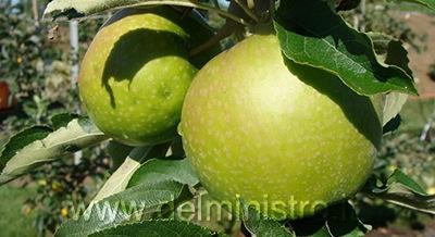 Variet di melo granny smith for Piante da frutto pistoia