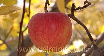 Variet di melo stayman for Piante da frutto pistoia