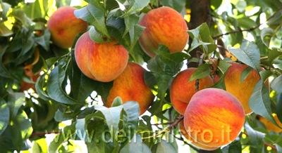 Vendita piante di pesco e nettarina piante da frutto for Albero da frutto nano