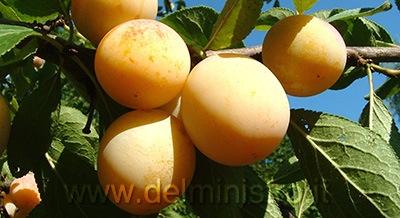 Vendita piante di susino e prugne piante da frutto for Piante da frutto pistoia