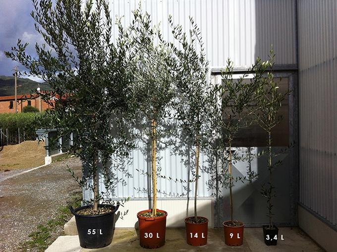 Listino Prezzi Piante Da Giardino : Piante di ulivo da giardino prezzi idea casa
