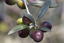 Piante di ulivo piante da frutto mimosa in vaso for Vendita piante ulivo