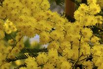 Piante di ulivo piante da frutto mimosa in vaso for Mimosa in vaso
