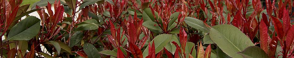 Vendita Piante Da Siepe : Piante da siepe vendita photinia red robin in vaso