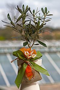 Bomboniere di olivo prebonsai ulivo olivo ornamentale for Bonsai olivo prezzi
