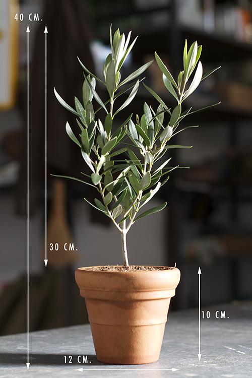 Bomboniere di olivo prebonsai ulivo olivo ornamentale for Prebonsai vendita on line