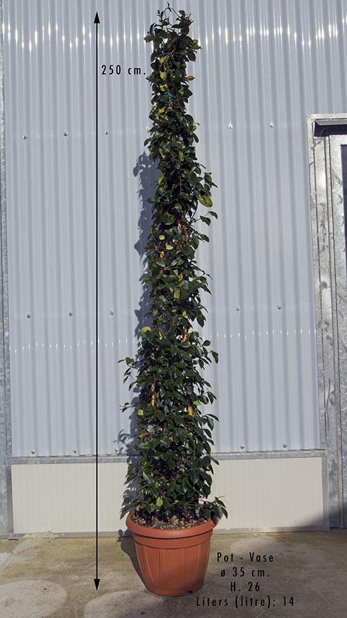 Vendita falso gelsomino topiaria gelsomino vivai for Potatura rincospermo