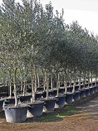 Vendita piante di olivo pescia pt giampiero del for Alberi in vendita