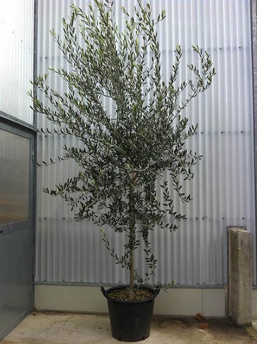 Piante Di Olivo : Vendita piante di olivo pescia pt giampiero del