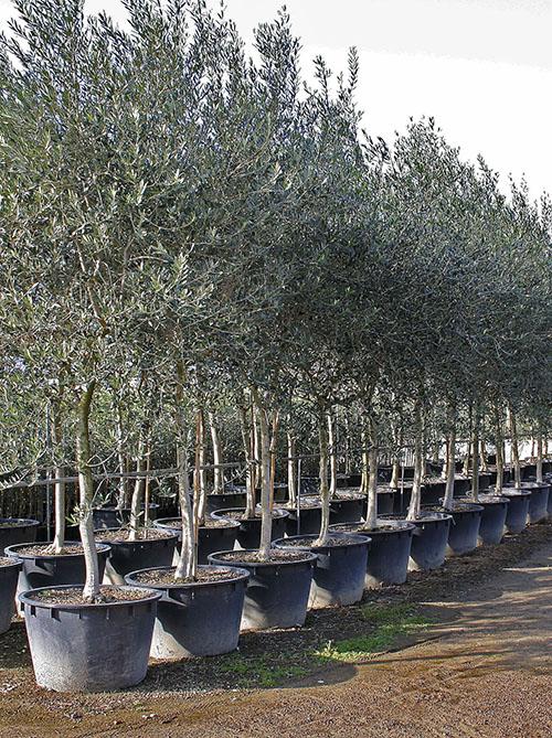Piante Di Ulivo In Vendita : Vendita piante di olivo pescia pt giampiero del