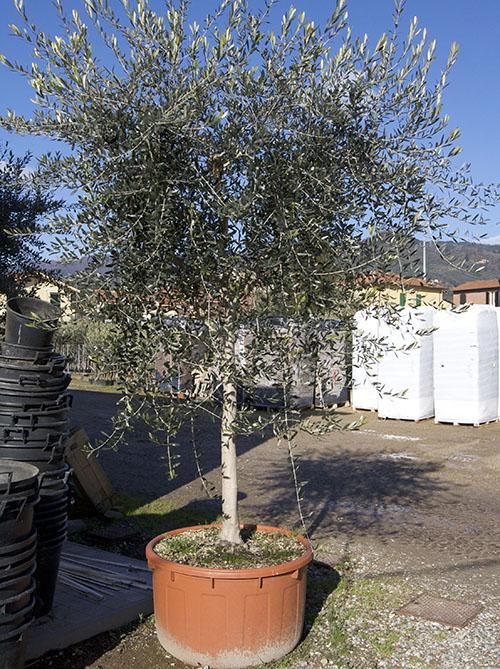 vendita piante di olivo pescia pt giampiero del